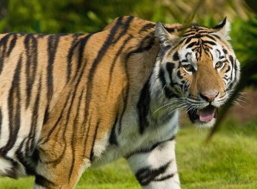 下一个大老虎会是谁?